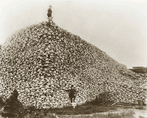Pile of Bison Skulls going to be used for fertilizer, c. 1870.