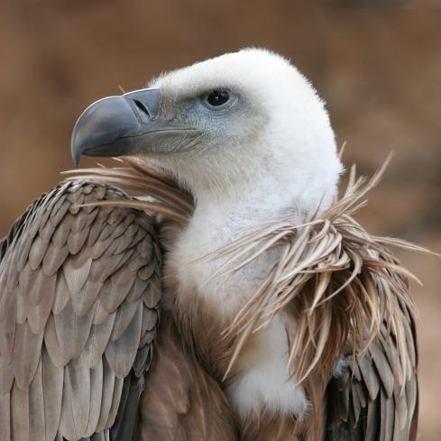 Stuffed Vulture